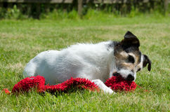 Parson Jack Russell Terrier Royalty Free Stock Photography