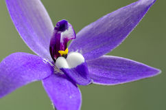 Parson in the Pulpit orchid, extreme closeup Stock Photos
