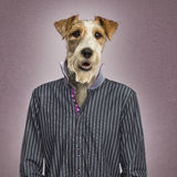 Parson russel terrier dressed, textured background Royalty Free Stock Photography