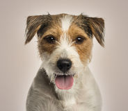 Parson russel terrier panting, looking at the came. Close-up of a Parson russel terrier panting, looking at the camera, on beige background Royalty Free Stock Photos