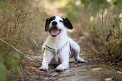 Parson Russell. Little parson russell terrier in Summer Stock Images