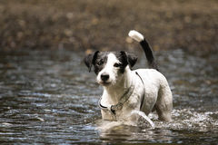 Parson Russell. Little parson russell terrier in water Stock Image