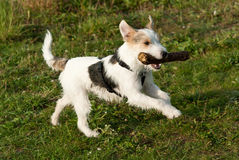 Parson Russell Terrier Royalty Free Stock Photography