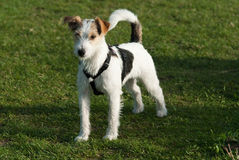 Parson Russell Terrier Royalty Free Stock Images