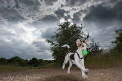 Parson Russell Terrier  Royalty Free Stock Image