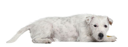 Parson Russell Terrier, 4 years old, lying Stock Photography