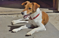 Parson Russell Terrier Stock Photos