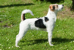 Parson Russell Terrier dog Stock Photos