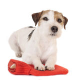 Parson Russell Terrier dog on a red hot bottle Royalty Free Stock Photography
