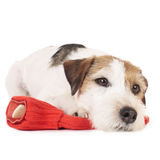 Parson Russell Terrier dog on a red hot bottle Stock Photo