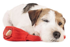 Parson Russell Terrier dog on a red hot bottle Stock Images