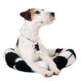 Parson Russell Terrier dog Stock Image