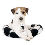 Parson Russell Terrier dog Royalty Free Stock Images