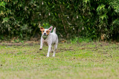 Parson Russell Terrier Female Dog Running Royalty Free Stock Photo