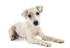 Parson russell terrier Stock Photography