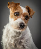 Parson russell terrier portrait Royalty Free Stock Photography