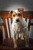 Parson russell terrier portrait Royalty Free Stock Photo