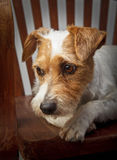 Parson russell terrier portrait Royalty Free Stock Images