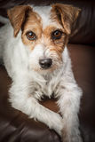 Parson russell terrier portrait Stock Photography