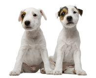 Parson Russell Terrier puppies sitting Royalty Free Stock Images