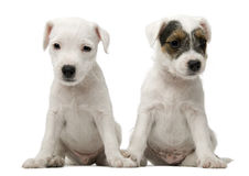 Parson Russell Terrier puppies sitting Stock Photos