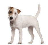 Parson Russell Terrier puppy, 6 months old Stock Images