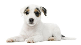 Parson Russell Terrier puppy lying Royalty Free Stock Photos