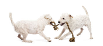 Parson Russell terriers playing with a rope. Against white background Royalty Free Stock Photo