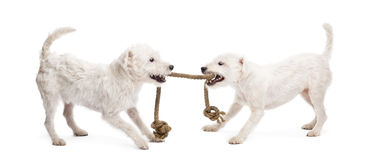 Parson Russell terriers playing with a rope Royalty Free Stock Photography