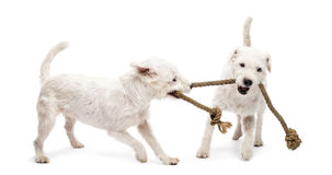 Parson Russell terriers playing with a rope stock photos