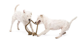 Parson Russell terriers playing with a rope Stock Images