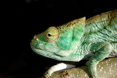 Parson's chameleon Stock Photography