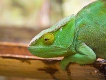 Parson's Chameleon. (Chamaeleo parsonii). Pereyras Nature Farm, Marozevo, Madagascar Royalty Free Stock Photography