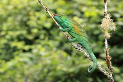 Parson's chameleon Stock Image