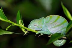 Free Parson`s Chameleon Calumma Parsonii Royalty Free Stock Photography - 80879857