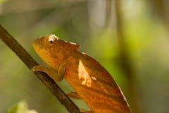 Parson`s chameleon Calumma parsonii Royalty Free Stock Image