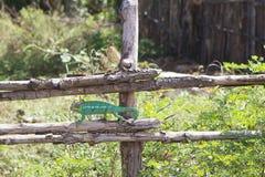 Parson's chameleon (Calumma parsonii) Stock Photos