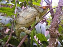 Parson's chameleon (Calumma parsonii) Stock Image
