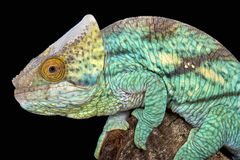 Parson's chameleon (Calumma parsonnii) Stock Photos