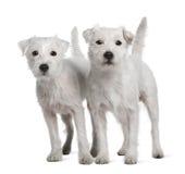 parsonrussell plattform terriers två arkivfoton