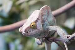 Parsons Chameleon Royalty Free Stock Images