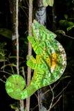 Parson's chameleon, andasibe Stock Images