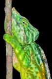 Parson's chameleon, andasibe Royalty Free Stock Photography