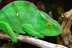 Parsons Chameleon Stock Photos