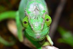 Parsons Chameleon Stock Images