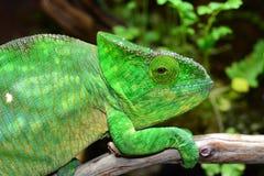 Parsons Chameleon Stock Photography