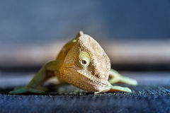 Parsons chameleon front Stock Photo