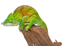 Parsons Chameleon Royalty Free Stock Photography