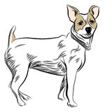 Parsons Jack Russell Terrier Dog Stock Photo