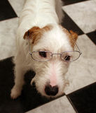 Parsons jack russell terrier dog with glasses Stock Image